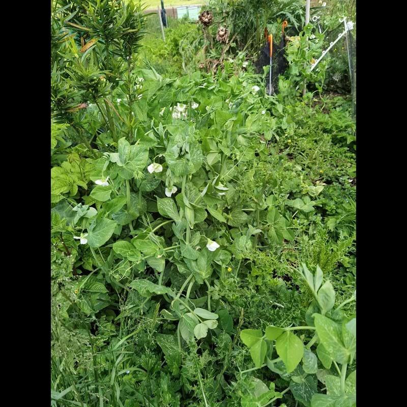 peaing in the garden