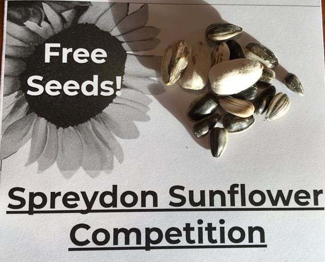 Spreydon Sunflower Competition