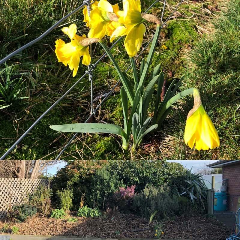 Confused daffodil