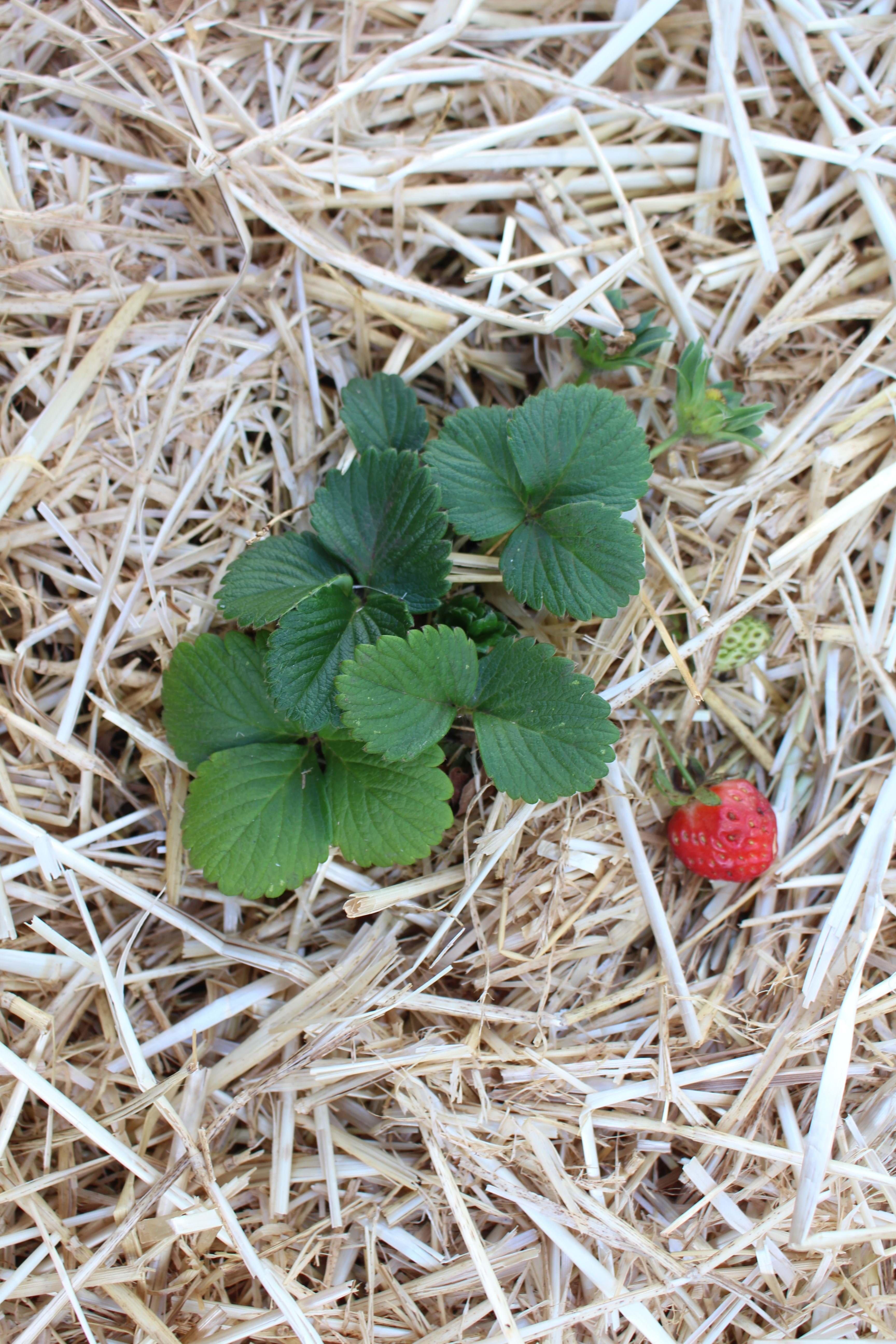 First Strawberry of the Season
