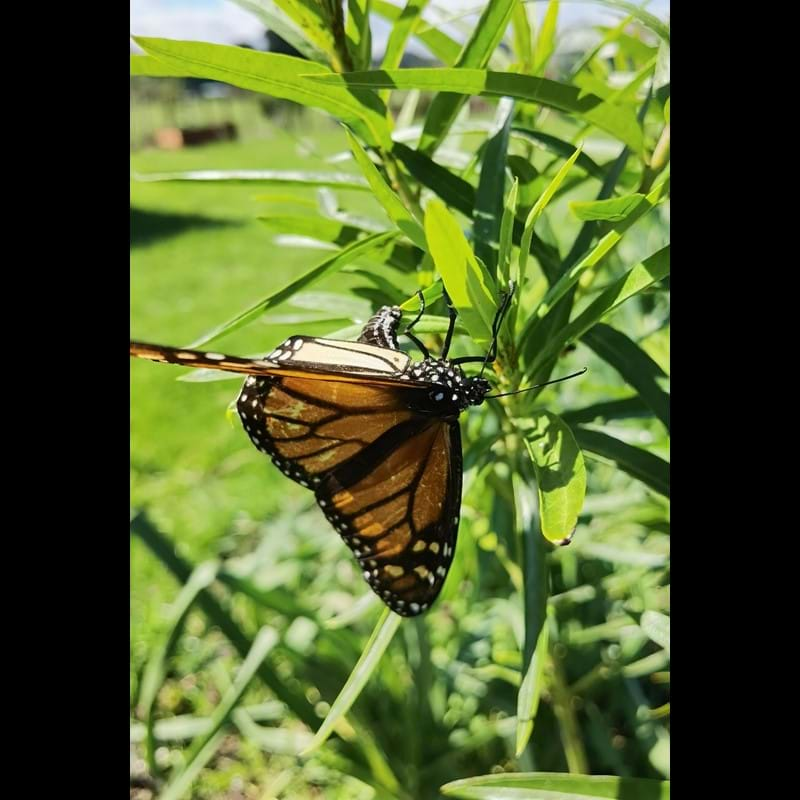 1st monarch butterfly