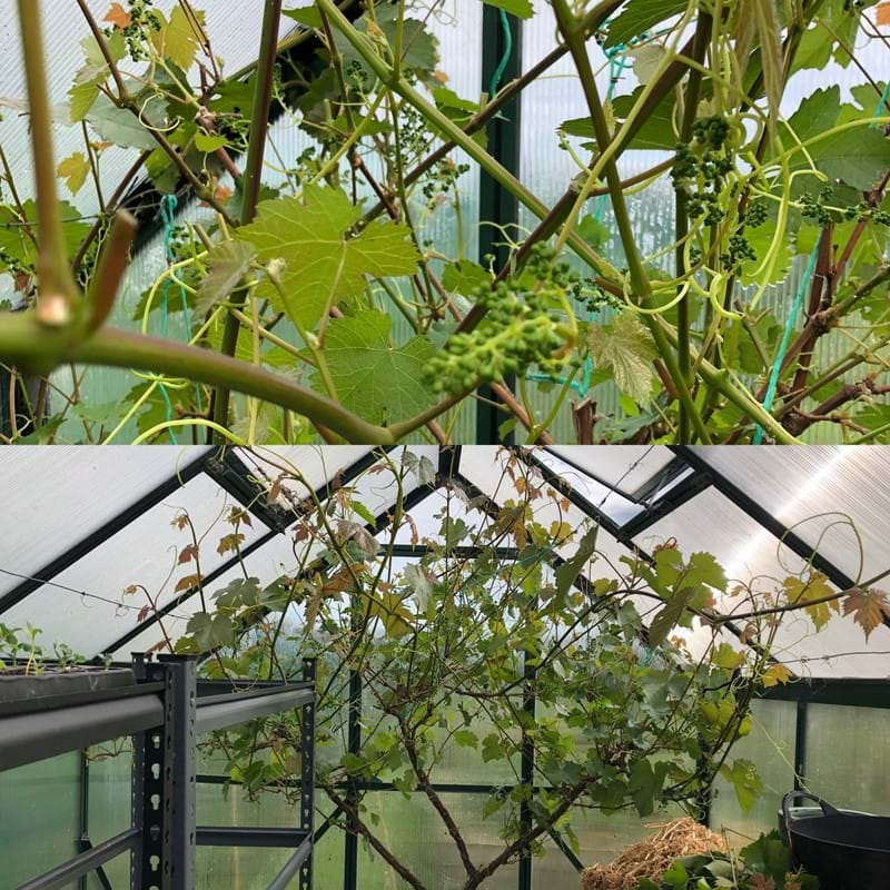 Creating airflow on the grapevine