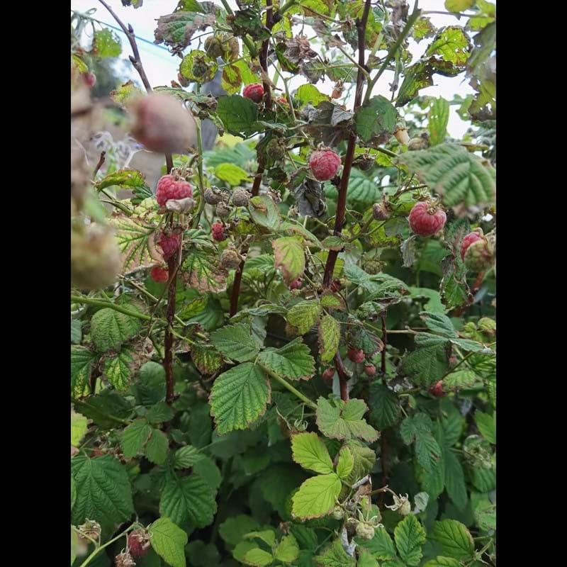 raspberries everywhere