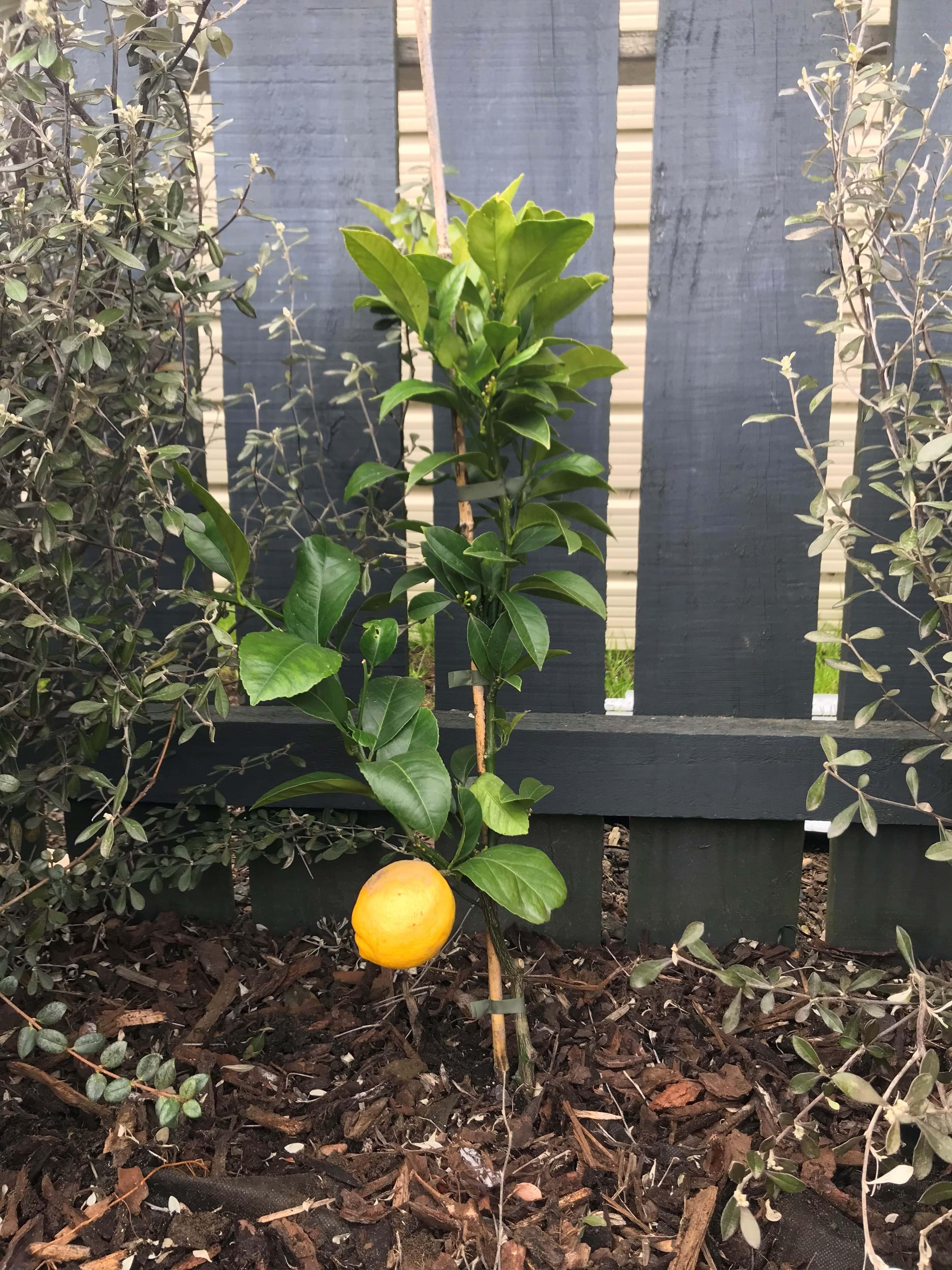 Planting a lemon tree