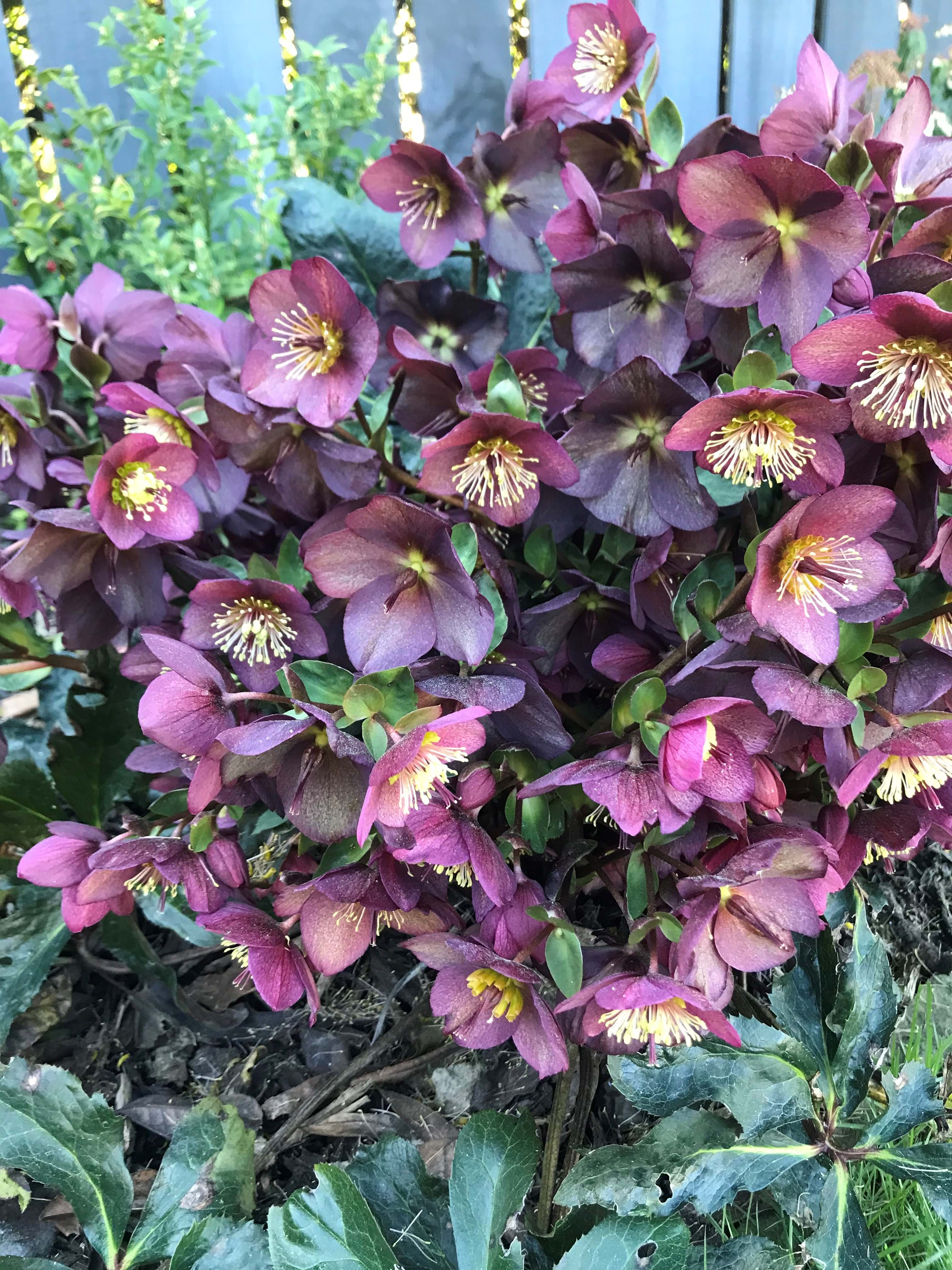 Hellebores or winter roses are a spring star